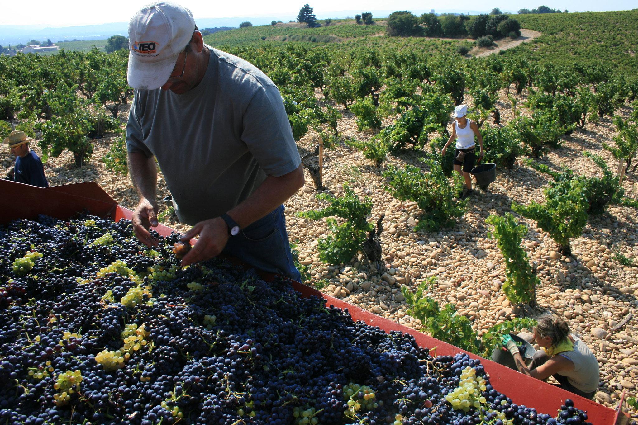 It's harvest season! Celebrating the month of the Vendanges